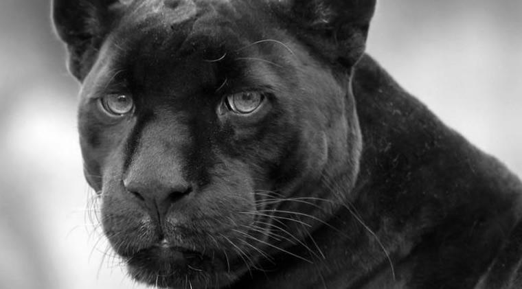 """次のEAは""""黒豹""""!「BlackPanther」プロジェクト始動!"""